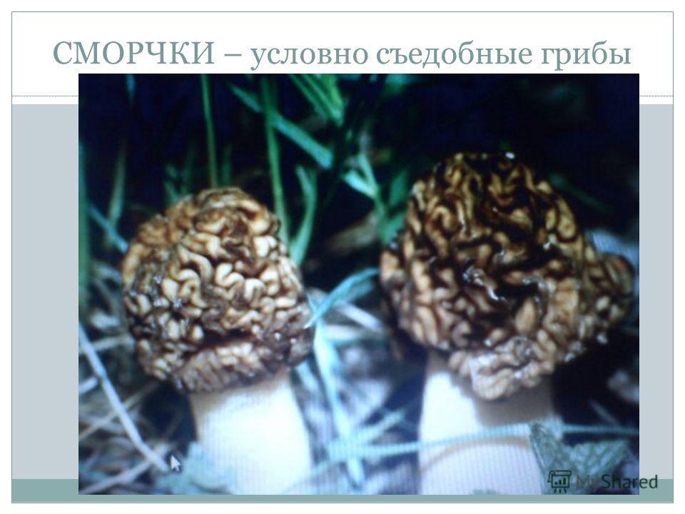 СМОРЧКИ – условно съедобные грибы