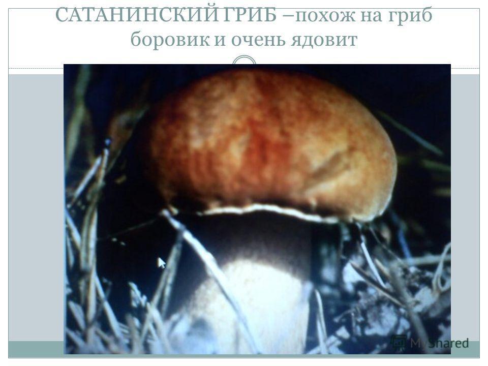 САТАНИНСКИЙ ГРИБ –похож на гриб боровик и очень ядовит