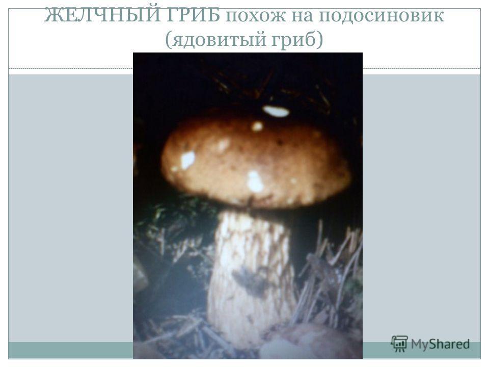 ЖЕЛЧНЫЙ ГРИБ похож на подосиновик (ядовитый гриб)