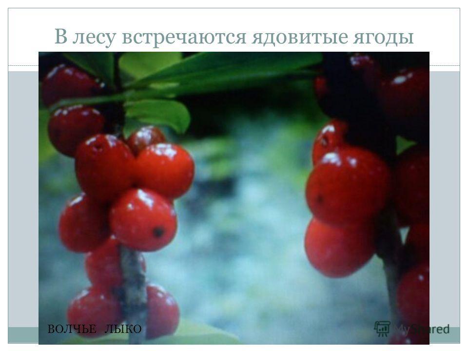 В лесу встречаются ядовитые ягоды ВОЛЧЬЕ ЛЫКО