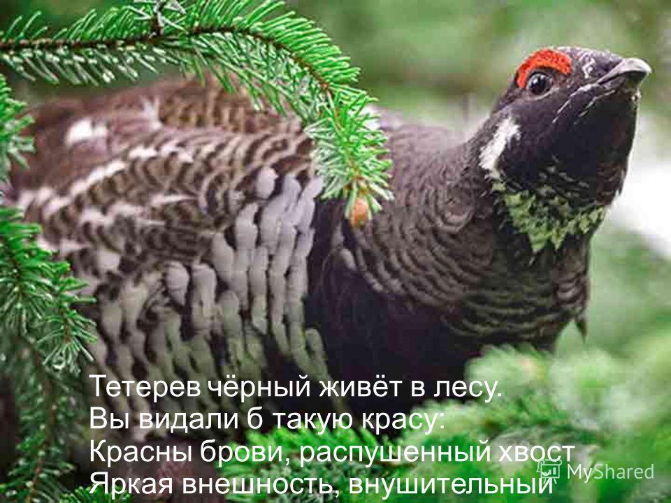 Тетерев чёрный живёт в лесу. Вы видали б такую красу: Красны брови, распушенный хвост Яркая внешность, внушительный рост.