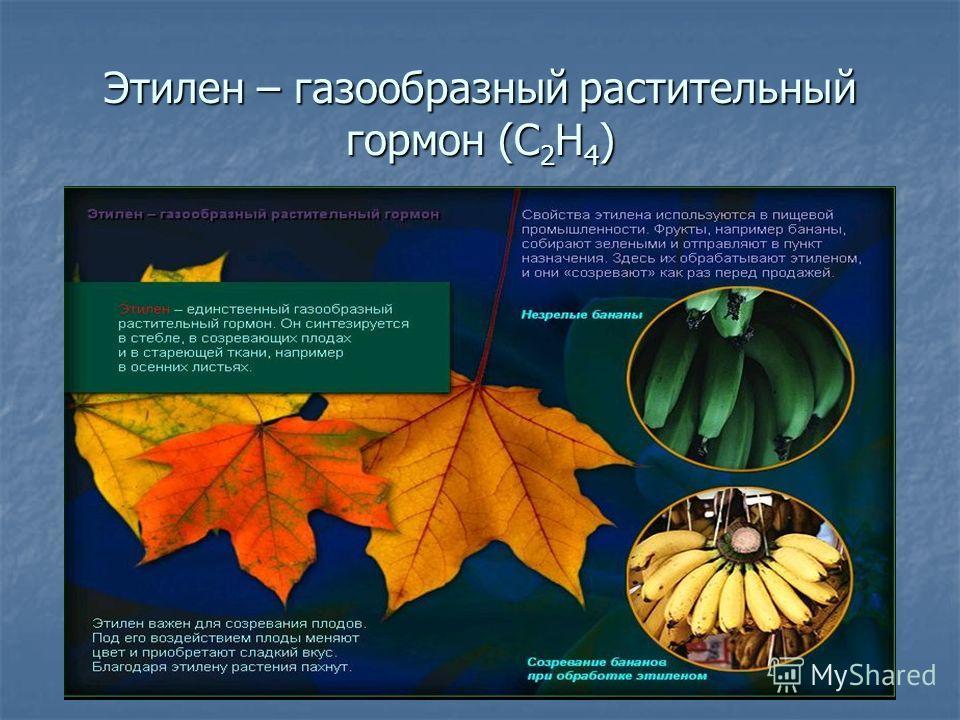 Этилен – газообразный растительный гормон (С 2 Н 4 )
