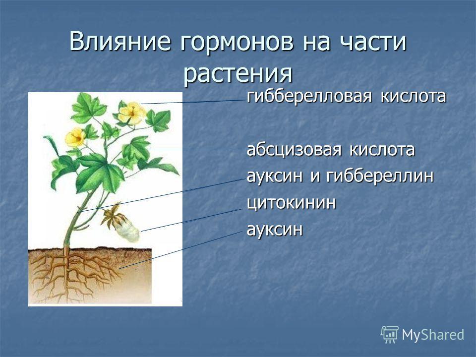 Влияние гормонов на части растения гибберелловая кислота абсцизовая кислота ауксин и гиббереллин цитокининауксин
