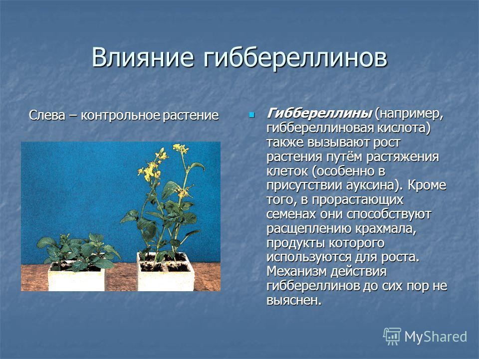 Влияние гиббереллинов Гиббереллины (например, гиббереллиновая кислота) также вызывают рост растения путём растяжения клеток (особенно в присутствии ауксина). Кроме того, в прорастающих семенах они способствуют расщеплению крахмала, продукты которого