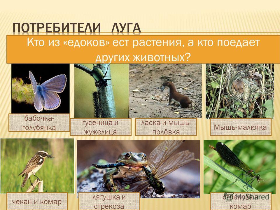 Кто из «едоков» ест растения, а кто поедает других животных? бабочка- голубянка чекан и комар гусеница и жужелица ласка и мышь- полёвка Мышь-малютка лягушка и стрекоза стрекоза и комар
