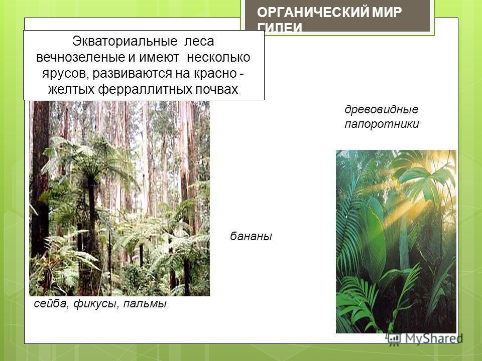 ОРГАНИЧЕСКИЙ МИР ГИЛЕИ Экваториальные леса вечнозеленые и имеют несколько ярусов, развиваются на красно - желтых ферраллитных почвах сейба, фикусы, пальмы бананы древовидные папоротники