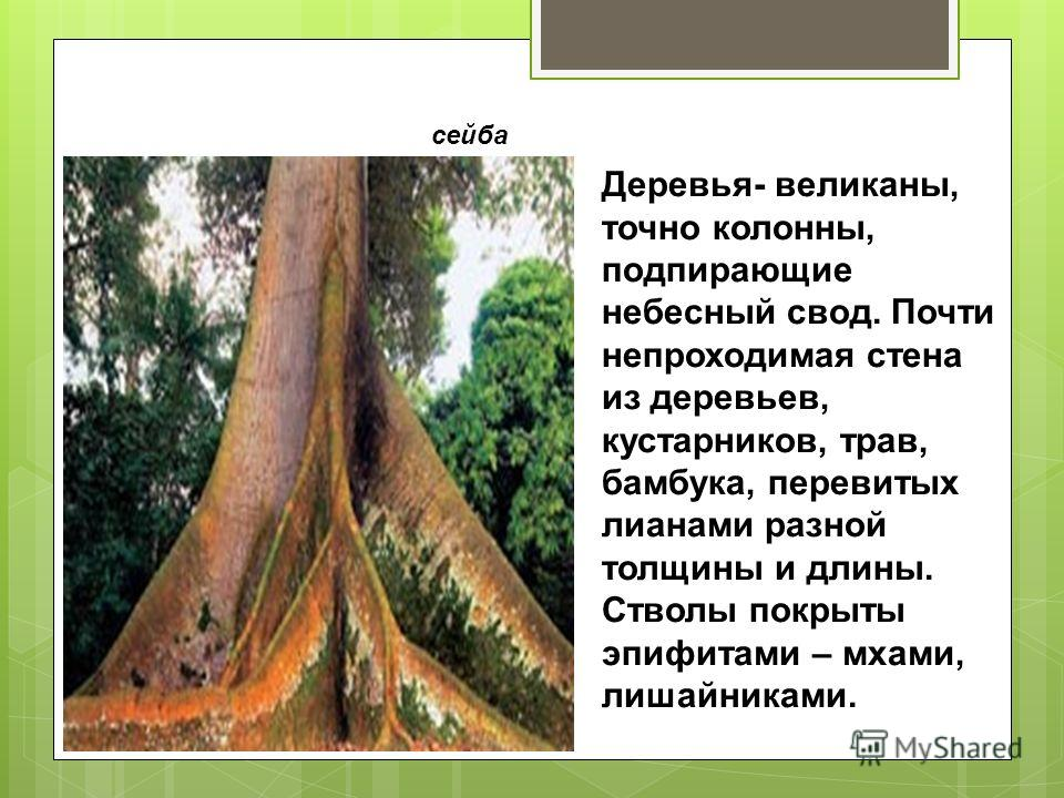 сейба Деревья- великаны, точно колонны, подпирающие небесный свод. Почти непроходимая стена из деревьев, кустарников, трав, бамбука, перевитых лианами разной толщины и длины. Стволы покрыты эпифитами – мхами, лишайниками.