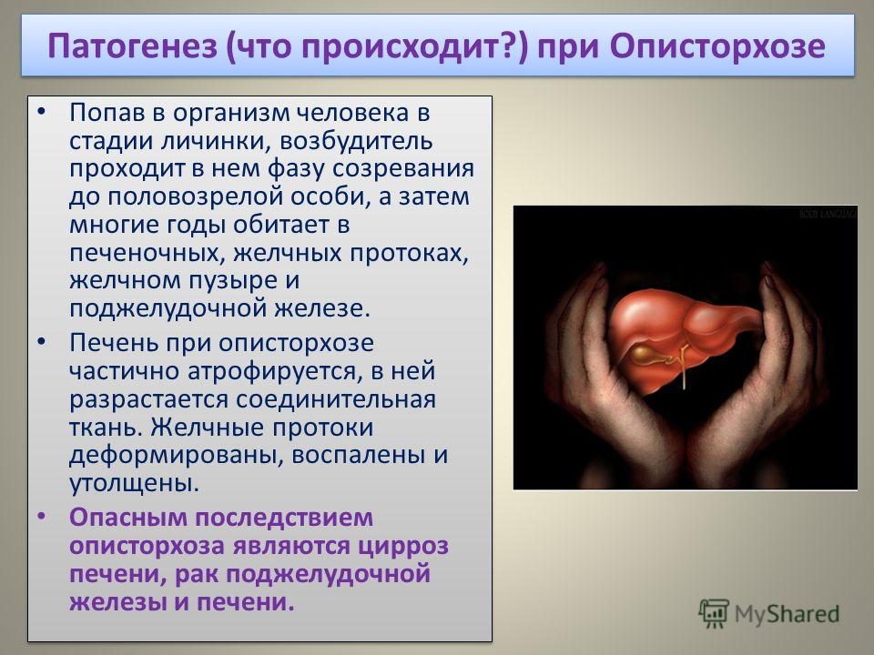 Патогенез (что происходит?) при Описторхозе Попав в организм человека в стадии личинки, возбудитель проходит в нем фазу созревания до половозрелой особи, а затем многие годы обитает в печеночных, желчных протоках, желчном пузыре и поджелудочной желез
