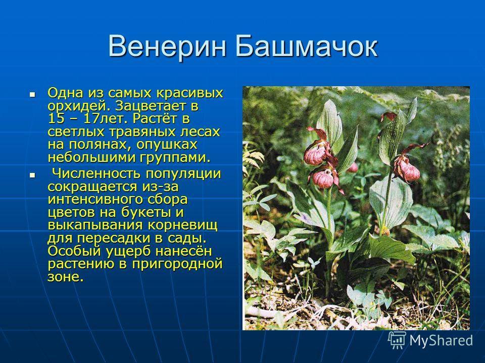 Венерин Башмачок Одна из самых красивых орхидей. Зацветает в 15 – 17 лет. Растёт в светлых травяных лесах на полянах, опушках небольшими группами. Одна из самых красивых орхидей. Зацветает в 15 – 17 лет. Растёт в светлых травяных лесах на полянах, оп