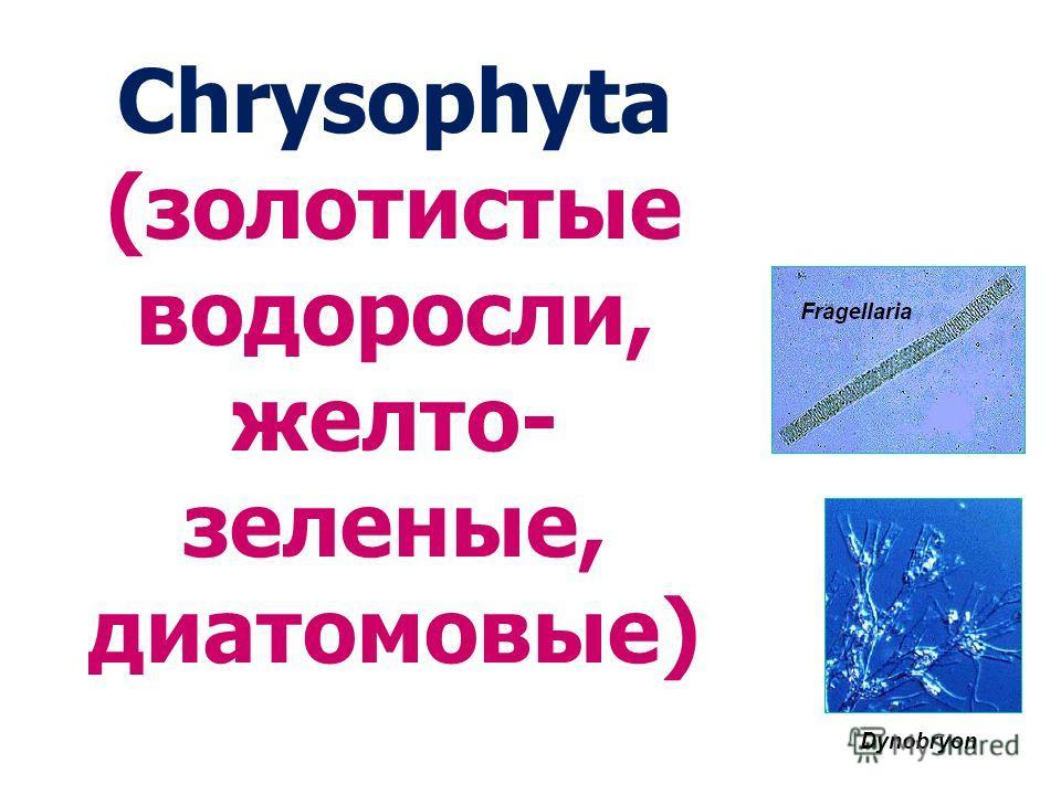 Chrysophyta (золотистые водоросли, желто- зеленые, диатомовые)