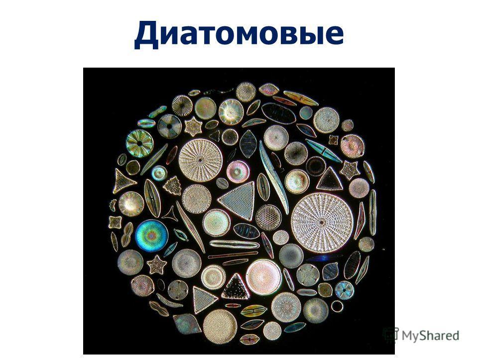 фитопланктон для толстолобика видео