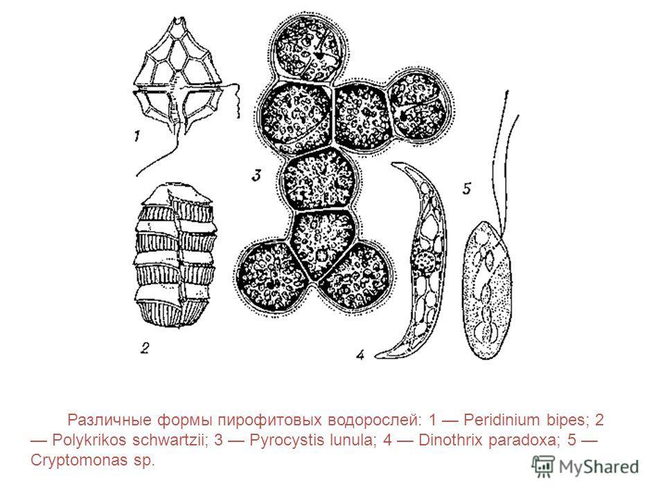 Различные формы пирофитовых водорослей: 1 Peridinium bipes; 2 Polykrikos schwartzii; 3 Pyrocystis lunula; 4 Dinothrix paradoxa; 5 Cryptomonas sp.