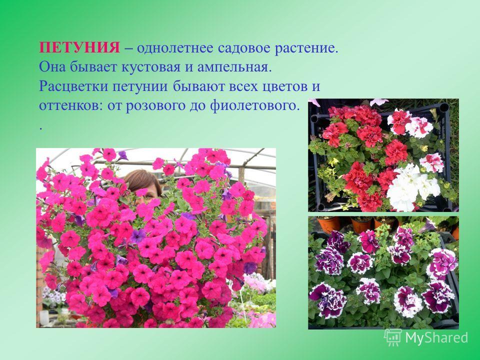 ПЕТУНИЯ – однолетнее садовое растение. Она бывает кустовая и ампельная. Расцветки петунии бывают всех цветов и оттенков: от розового до фиолетового..