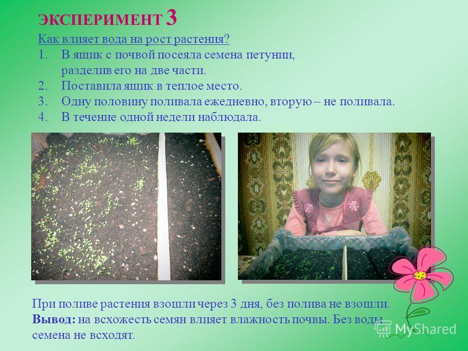 ЭКСПЕРИМЕНТ 3 Как влияет вода на рост растения? 1. В ящик с почвой посеяла семена петунии, разделив его на две части. 2. Поставила ящик в теплое место. 3. Одну половину поливала ежедневно, вторую – не поливала. 4. В течение одной недели наблюдала. Пр