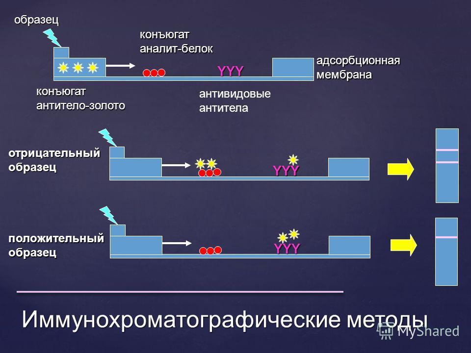 Иммунохроматографические методы образецYYY конъюгатантитело-золото конъюгатаналит-белок антивидовые антитела адсорбционная мембрана YYY положительный образец YYY отрицательный образец