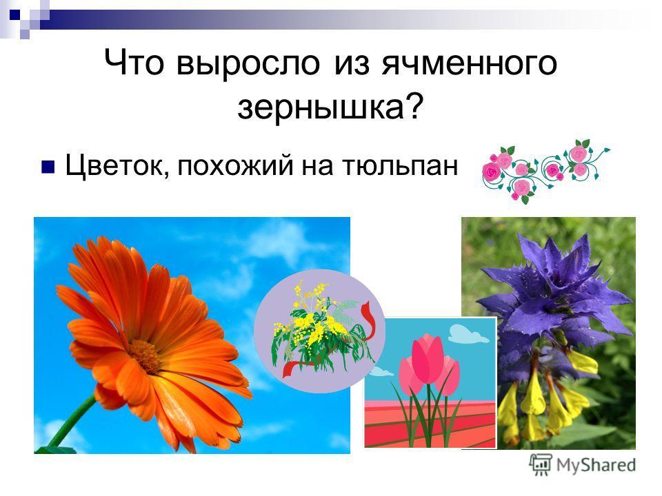 Что выросло из ячменного зернышка? Цветок, похожий на тюльпан