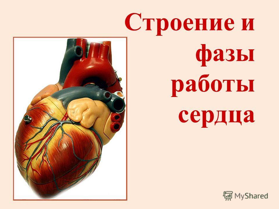 Строение и фазы работы сердца