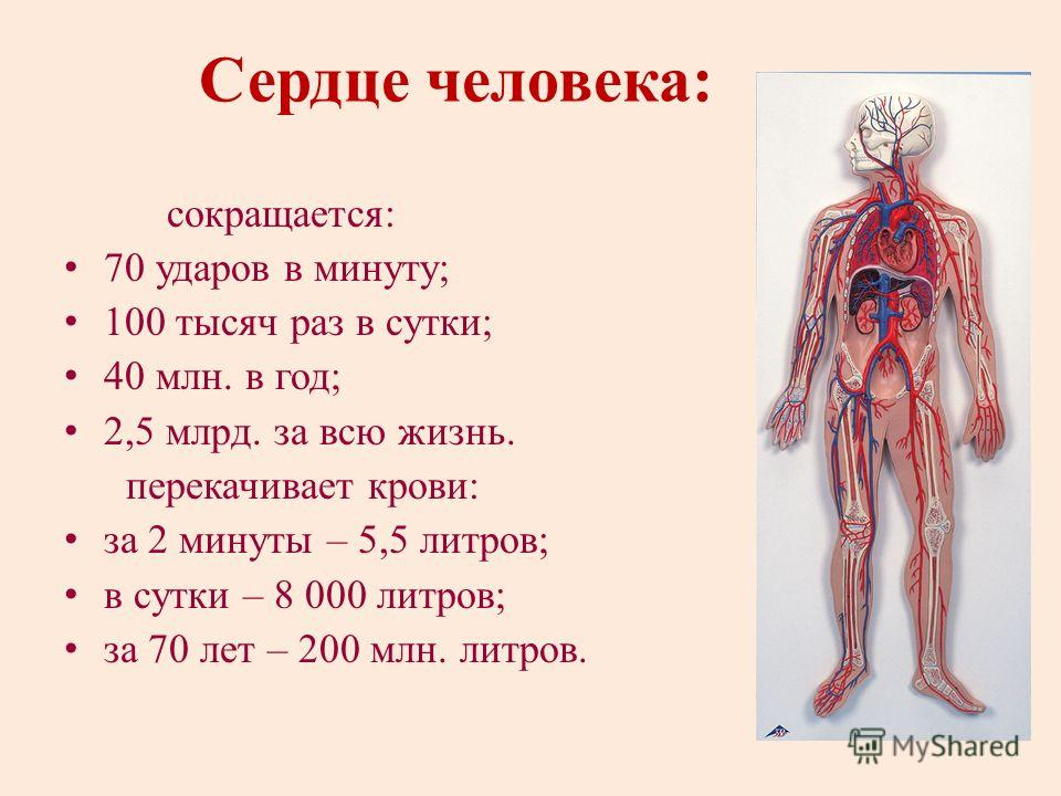 Сердце человека: сокращается: 70 ударов в минуту; 100 тысяч раз в сутки; 40 млн. в год; 2,5 млрд. за всю жизнь. перекачивает крови: за 2 минуты – 5,5 литров; в сутки – 8 000 литров; за 70 лет – 200 млн. литров.