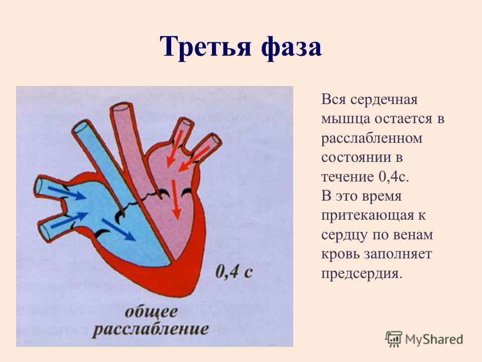 Третья фаза Вся сердечная мышца остается в расслабленном состоянии в течение 0,4 с. В это время притекающая к сердцу по венам кровь заполняет предсердия.