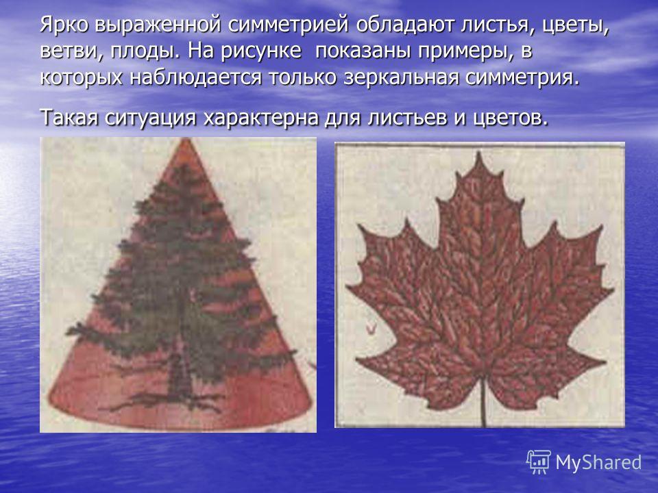 Ярко выраженной симметрией обладают листья, цветы, ветви, плоды. На рисунке показаны примеры, в которых наблюдается только зеркальная симметрия. Такая ситуация характерна для листьев и цветов.