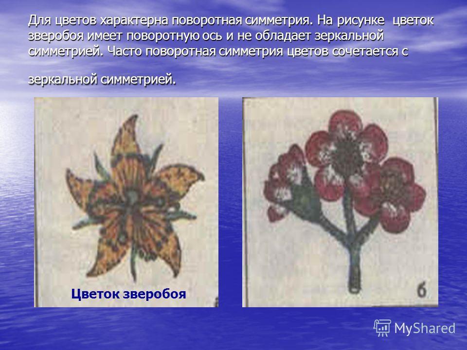 Для цветов характерна поворотная симметрия. На рисунке цветок зверобоя имеет поворотную ось и не обладает зеркальной симметрией. Часто поворотная симметрия цветов сочетается с зеркальной симметрией. Цветок зверобоя