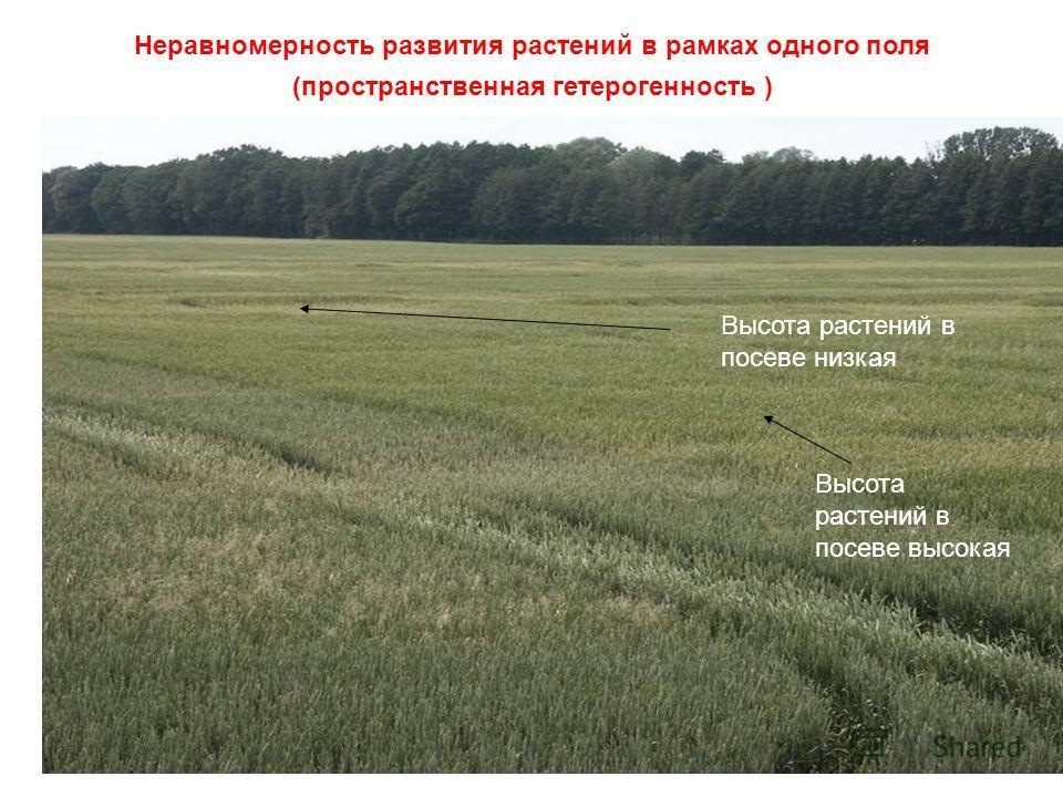 Неравномерность развития растений в рамках одного поля (пространственная гетерогенность ) Высота растений в посеве низкая Высота растений в посеве высокая