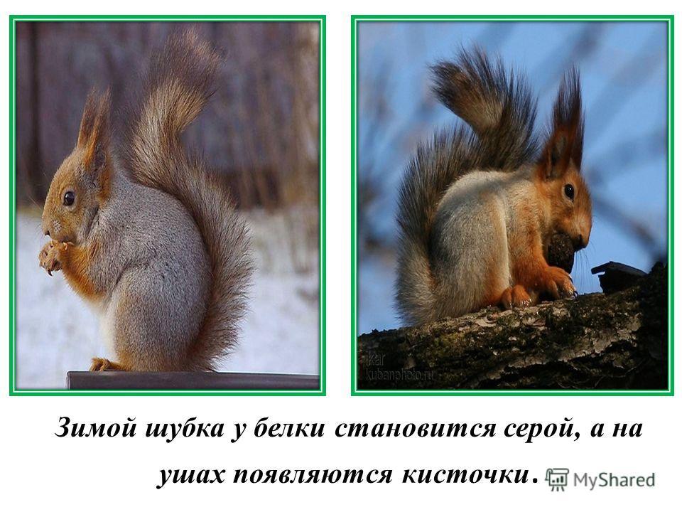 Зимой шубка у белки становится серой, а на ушах появляются кисточки.