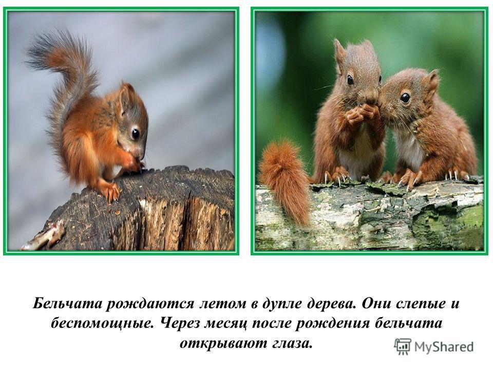Бельчата рождаются летом в дупле дерева. Они слепые и беспомощные. Через месяц после рождения бельчата открывают глаза.