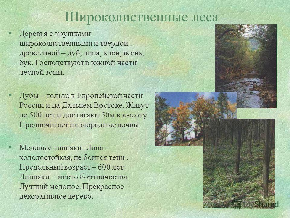 Широколиственные леса §Деревья с крупными широколиственными и твёрдой древесиной – дуб, липа, клён, ясень, бук. Господствуют в южной части лесной зоны. §Дубы – только в Европейской части России и на Дальнем Востоке. Живут до 500 лет и достигают 50 м