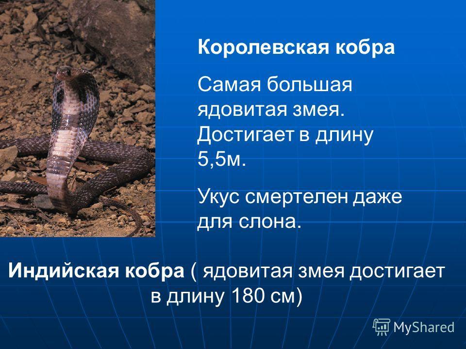 Королевская кобра Самая большая ядовитая змея. Достигает в длину 5,5 м. Укус смертелен даже для слона. Индийская кобра ( ядовитая змея достигает в длину 180 см)