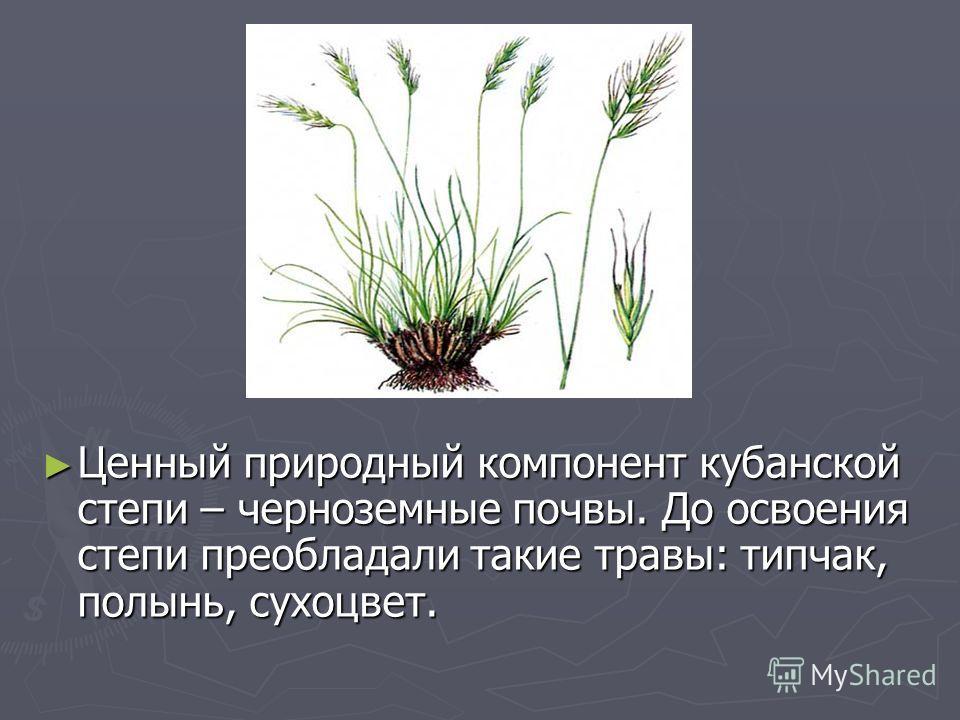 Ценный природный компонент кубанской степи – черноземные почвы. До освоения степи преобладали такие травы: типчак, полынь, сухоцвет. Ценный природный компонент кубанской степи – черноземные почвы. До освоения степи преобладали такие травы: типчак, по