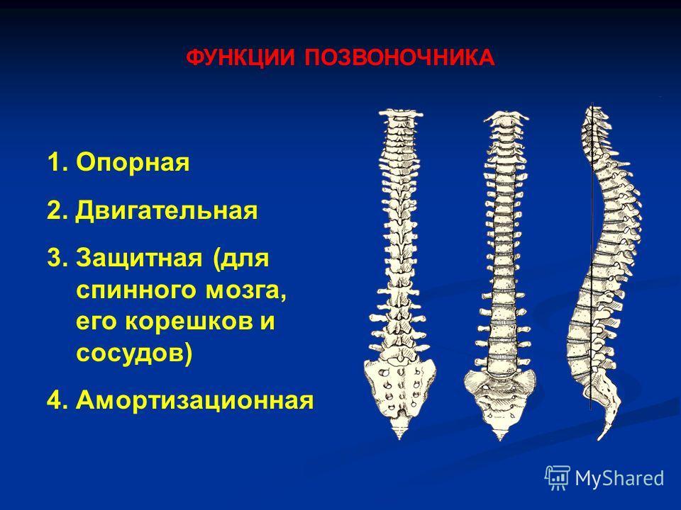 ФУНКЦИИ ПОЗВОНОЧНИКА 1. Опорная 2. Двигательная 3. Защитная (для спинного мозга, его корешков и сосудов) 4. Амортизационная