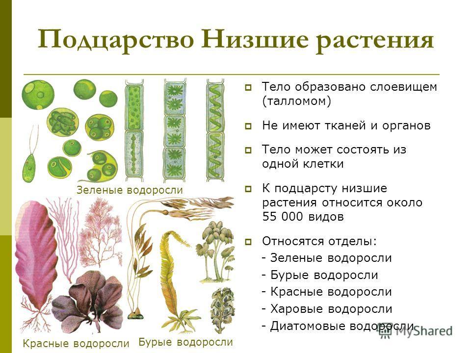 Подцарство Низшие растения Тело образовано слоевищем (талломом) Не имеют тканей и органов Тело может состоять из одной клетки К подцарсту низшие растения относится около 55 000 видов Относятся отделы: - Зеленые водоросли - Бурые водоросли - Красные в