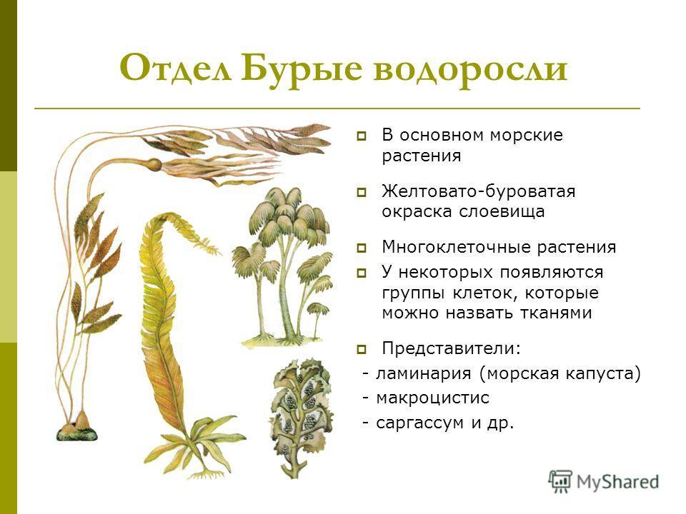 Водоросли в основном морские растения