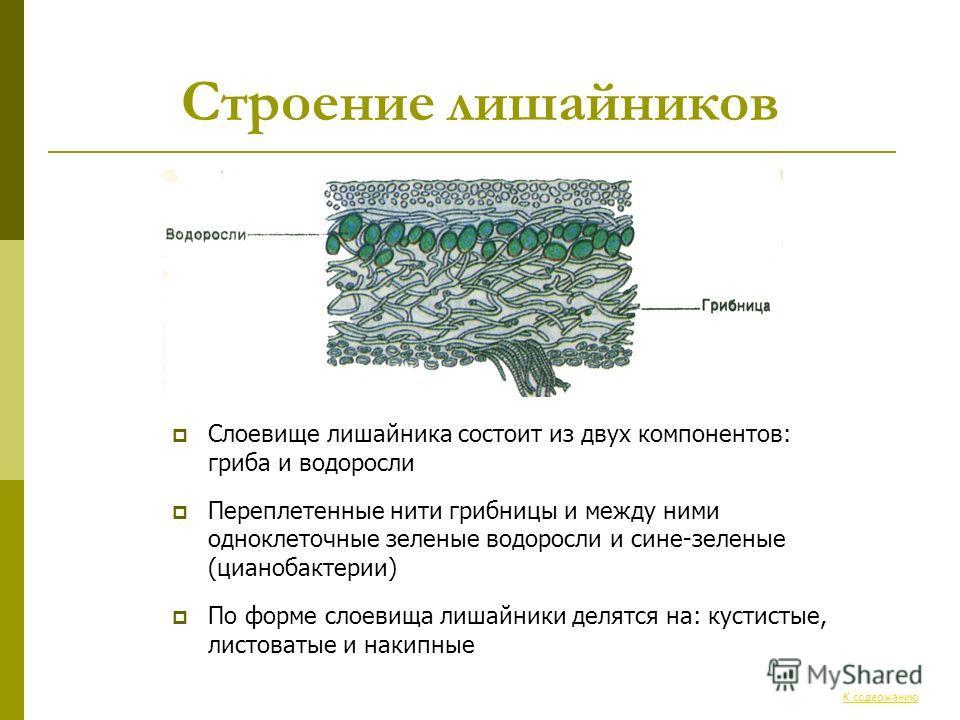 Строение лишайников Слоевище лишайника состоит из двух компонентов: гриба и водоросли Переплетенные нити грибницы и между ними одноклеточные зеленые водоросли и сине-зеленые (цианобактерии) По форме слоевища лишайники делятся на: кустистые, листоваты