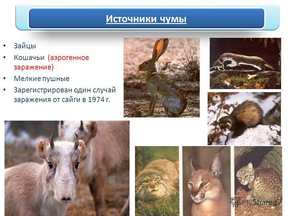 Зайцы Кошачьи (аэрогенное заражение) Мелкие пушные Зарегистрирован один случай заражения от сайги в 1974 г. Источники чумы