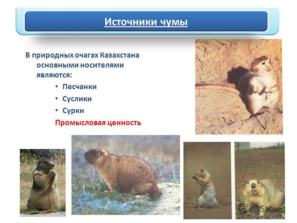 Источники чумы В природных очагах Казахстана основными носителями являются: Песчанки Суслики Сурки Промысловая ценность Источники чумы