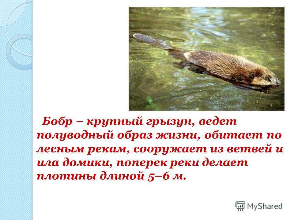 Бобр – крупный грызун, ведет полуводный образ жизни, обитает по лесным рекам, сооружает из ветвей и ила домики, поперек реки делает плотины длиной 5–6 м.