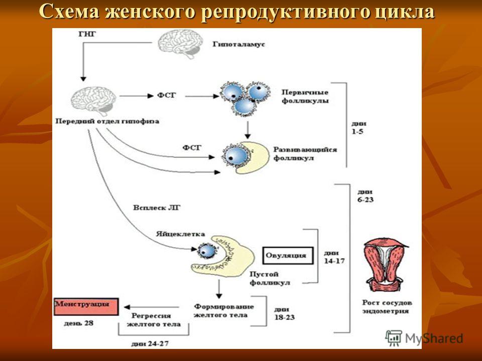 Схема женского репродуктивного