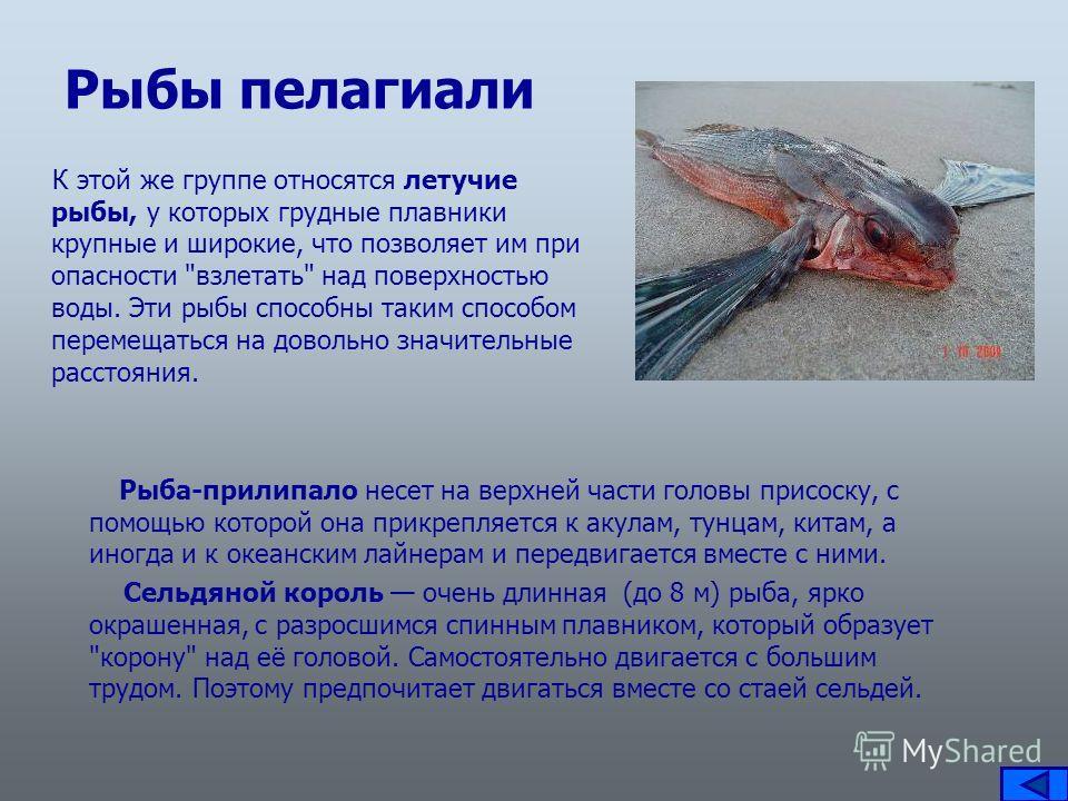 Рыбы пелагиали К этой же группе относятся летучие рыбы, у которых грудные плавники крупные и широкие, что позволяет им при опасности