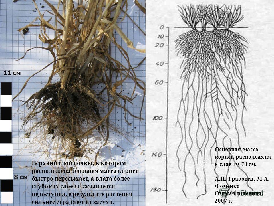 Основная масса корней расположена в слое 40-70 см. А.И. Грабовец, М.А. Фоменко Озимая пшеница, 2007 г. Верхний слой почвы, в котором расположена основная масса корней быстро пересыхает, а влага более глубоких слоев оказывается недоступна, в результат