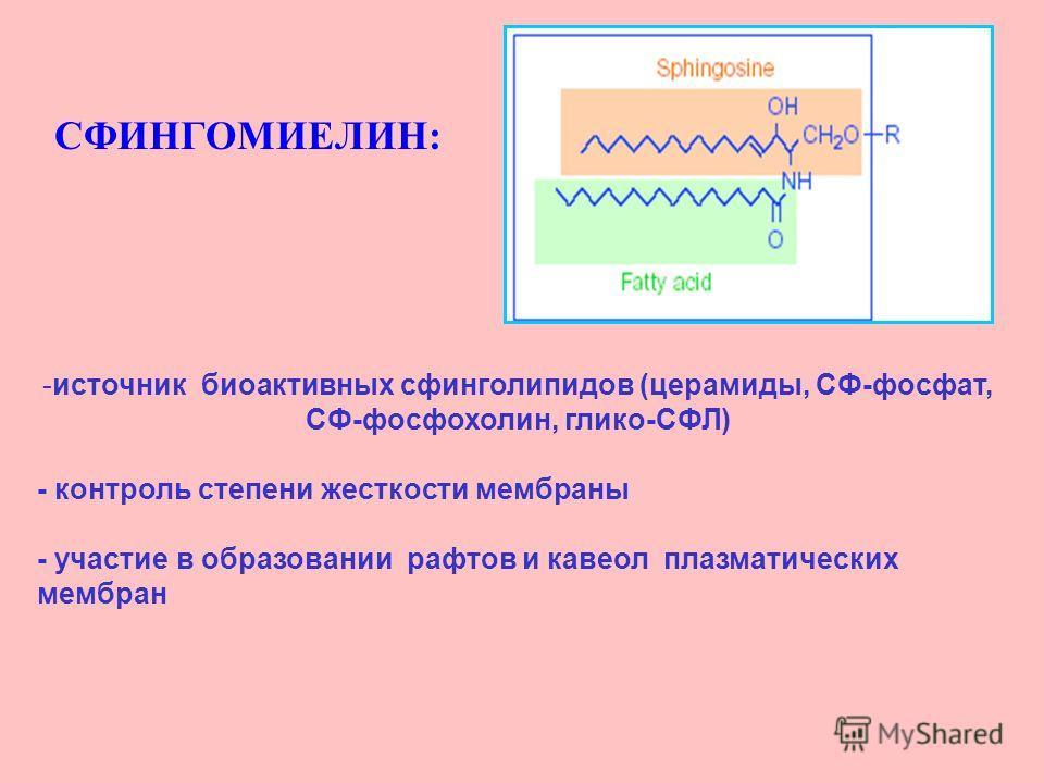 СФИНГОМИЕЛИН: -источник биоактивных свинголипидов (церамиды, СФ-фосфат, СФ-фосфорхолин, клико-СФЛ) - контроль степени жесткости мембраны - участие в образовании рафтов и кавеол плазматических мембран
