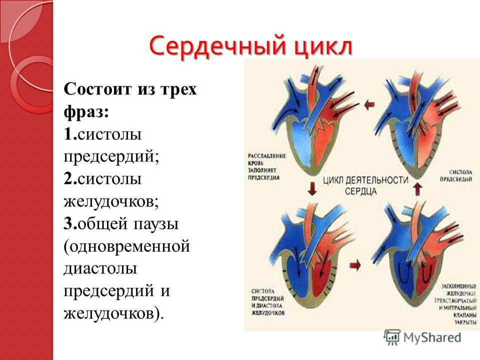 Сердечный цикл Сердечный цикл Состоит из трех фраз: 1. систолы предсердий; 2. систолы желудочков; 3. общей паузы (одновременной диастолы предсердий и желудочков).