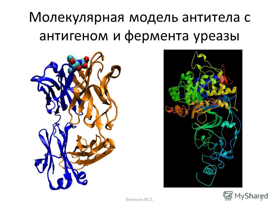 Молекулярная модель антитела с антигеном и фермента уреазы 8Белянин М.Л.