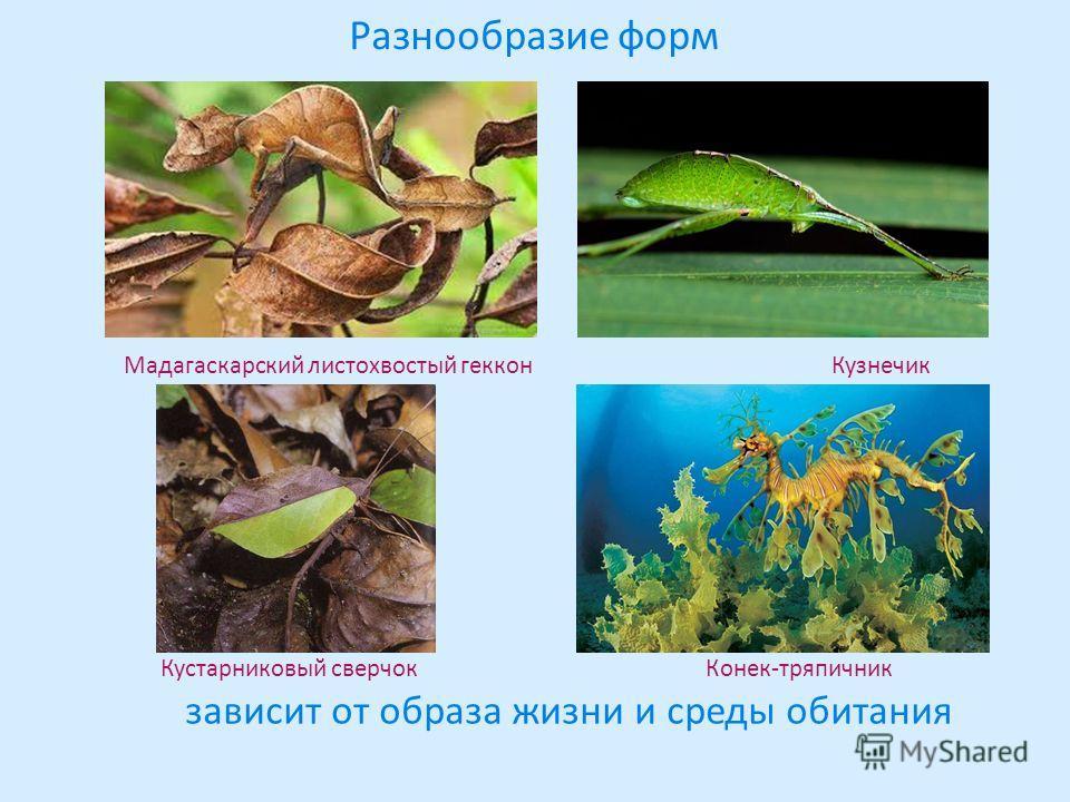 Разнообразие форм Мадагаскарский листохвостый геккон Кузнечик Кустарниковый сверчок Конек-тряпичник зависит от образа жизни и среды обитания