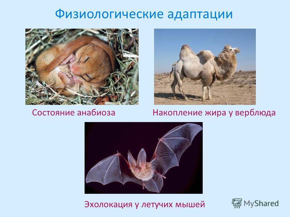 Физиологические адаптации Состояние анабиоза Накопление жира у верблюда Эхолокация у летучих мышей