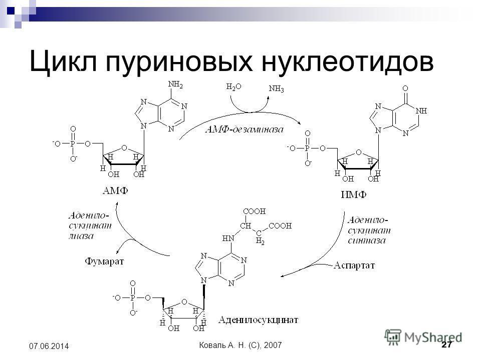 Коваль А. Н. (C), 200727 07.06.2014 Цикл пуриновых нуклеотидов