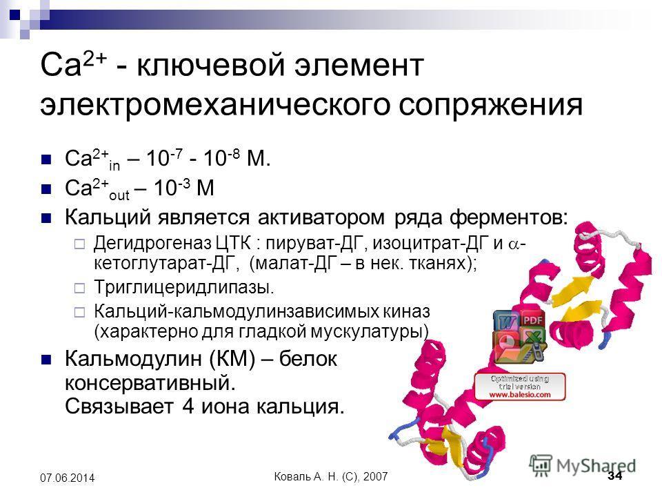 Коваль А. Н. (C), 200734 07.06.2014 Ca 2+ - ключевой элемент электромеханического сопряжения Ca 2+ in – 10 -7 - 10 -8 М. Ca 2+ out – 10 -3 М Кальций является активатором ряда ферментов: Дегидрогеназ ЦТК : пируват-ДГ, изоцитрат-ДГ и - кетоглутарат-ДГ,