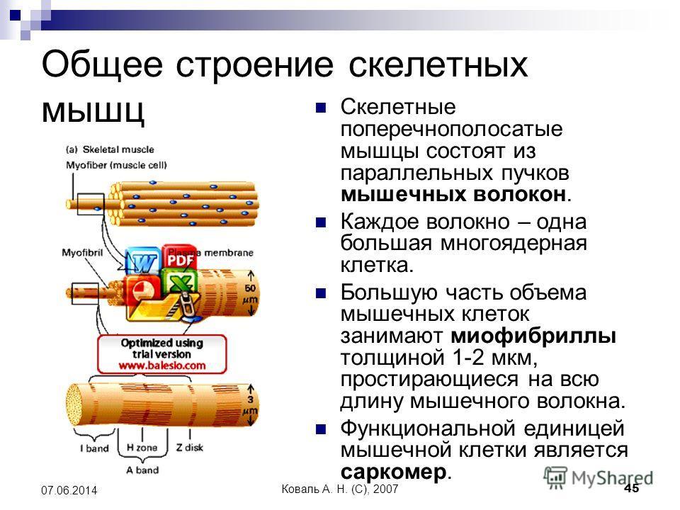 Коваль А. Н. (C), 200745 07.06.2014 Общее строение скелетных мышц Скелетные поперечнополосатые мышцы состоят из параллельных пучков мышечных волокон. Каждое волокно – одна большая многоядерная клетка. Большую часть объема мышечных клеток занимают мио