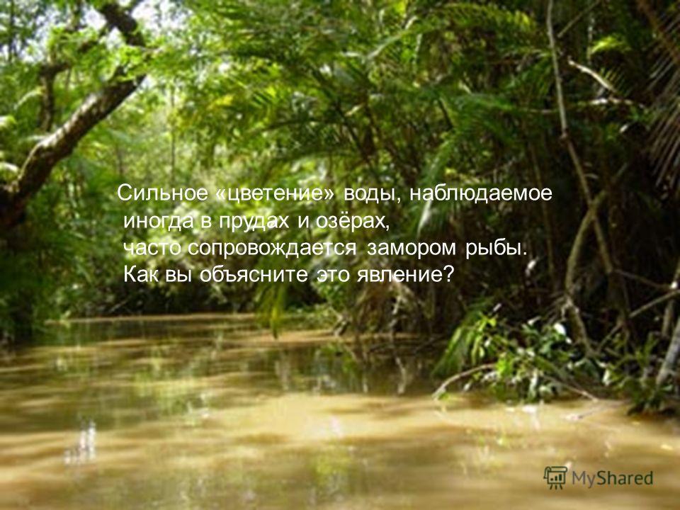 Сильное «цветение» воды, наблюдаемое иногда в прудах и озёрах, часто сопровождается замором рыбы. Как вы объясните это явление?